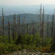 Das «Waldsterben» ist ein deutscher Begriff, der es in den englischen Sprachschatz geschafft hat. Wie übrigens eine ganze Menge anderer Wörter. Nur wenige Beispiele, man könnte mit der Liste ganze Bücher füllen: «to abseil», für abseilen, «angst», für ein