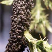 Alles andere als romantisch: Blattläuse sind die Praktiker unter den Liebenden. Sie tauschen Sex gegen Bakterien, die ihnen bei der Verdauung und gegen große Hitze helfen oder Larven der Schlupfwespe töten, die sie befallen.