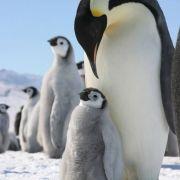 Wenn das keine wahre Liebe ist: Während die Weibchen des Kaiserpinguins auf Nahunrgssuche im Polarmeer unterwegs sind, bebrütet Papa Pinguin das Ei. Mehr als zwei Monate lang trägt er es zwischen Füßen und Bauchfalte mit sich herum und hält es warm. Pünkt