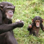 Wer hätte es gedacht - selbst Schimpansen, die uns Menschen am ähnlichsten sind, tauschen Sex gegen Ware, in diesem Fall Fleisch. Ihre Kollegen, die Bonobos, nutzen ihn sogar zur Konfliktbewältigung. Prostitution im Tierreich.