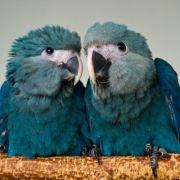 Ebenfalls der Gruppe der Romantiker zuzuordnen: Papageienpärchen bleiben ein ganzes Leben lang zusammen. Das brachte ihnen längst den Beinamen «die Unzertrennlichen» ein.