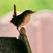 Zaunkönige sind die Romantiker unter den Tieren: Die Pärchen sind so gut aufeinander abgestimmt, dass ihr gemeinsamer Gesang wie der eines einzelnen Vogels klingt. Innerhalb von Sekundenbruchteilen wechseln sie sich ab - für das menschliche Ohr klingt es,