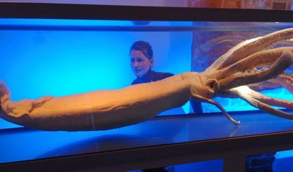Riesenkalmare - hier im Ozeaneum Stralsund - gehören zu den ganz Wilden: Die Männchen reißen den Weibachen die Haut auf und schießen unter hydraulischem Druck Samenpatronen ab. Wie die Weibchen diese anschließend befruchten, ist bisher allerdings nicht be