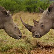 Auch für Naturgeschichten gibt es eine Kategorie beim World Press Photo Wettbewerb. Fotograf Brent Stirton kam ganz nah an diese beiden Nashörner heran. Das Weibchen links wurde Opfer von brutalen Wilderern, die ihr Horn abschnitten.