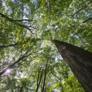 Benzin aus Bäumen? Forscher des Max-Planck Instituts arbeiten an einem Verfahren, bei dem Zellulose aus Holz in Zucker umgewandelt wird, der anschließend zu Biokraftstoff verarbeitet werden kann.