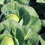 Chinesische Bauern verlängern die Haltbarkeit ihres Kohls mit Formaldehyd.
