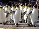 Pinguine sehen einfach lustig aus. Dass sie «abartige» sexuelle Verhaltensweisen an den Tag legen, schockierte den Wissenschaftler George Murray Levick. (Foto)