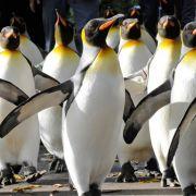 Pinguine sehen einfach lustig aus. Dass sie «abartige» sexuelle Verhaltensweisen an den Tag legen, schockierte den Wissenschaftler George Murray Levick.