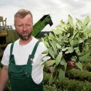 ... haben inzwischen mit Frauenmangel zu kämpfen. Freital in Sachsen zum Beispiel, wo die größten Salbeifelder Europas wachsen.