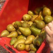 Apfel-Birnen-Konfitüre mit Calvados, mit Fruchtzucker