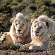 Auch Löwen nehmen gern ein Menschenmahl: Allein in Tansania werden jedes Jahr 100 Personen von den Raubtieren getötet und verspeist.