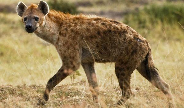 Hyänen ernähren sich keineswegs nur von Aas. Die Tüpfelhyäne etwa hat ein Faible für lebendige Afrikaner, die nachts aufgrund großer Hitze im Freien schlafen.