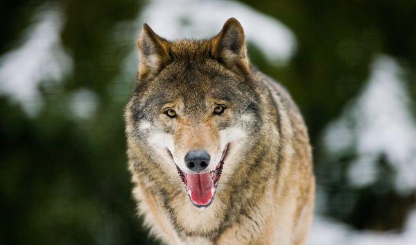 Der Wolf hat ein Imageproblem, nicht erst seit der Sache mit Rotkäppchen, so der Biologe Mario Ludwig.
