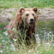 Bären waren vor wenigen Jahrhunderten überall in Europa zu finden. Dann wurden Wälder abgeholzt und Jagd auf die pelzigen Räuber gemacht. Heute gibt es Versuche, Bären wieder anzusiedeln – so wie Bruno.