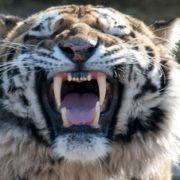 Auch Tiger genehmigen sich ab und an eine menschliche Mahlzeit.
