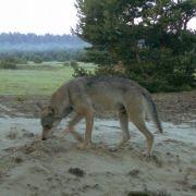 Die alte Dame aus der Kaukasusrepublik Dagestan nahm Rache für Rotkäppchen: Sie erschlug einen «bösen» Wolf.