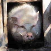 Schwein aus Tirol