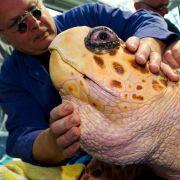Schönheit liegt wie immer im Auge des Betrachters: Tierarzt Dr. Dieter Göbel untersucht in Stralsund eine 48 Jahre alte Karettschildkröte.