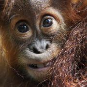 Ein äußerst perfider Fall wurde vor einigen Jahren aus Borneo bekannt: Dort wurde ein Orang-Utan-Weibchen als Sexsklavin missbraucht. Jeden zweiten Tag sei sie rasiert worden. Tierschützer konnten sie schließlich retten.