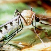 Dengue-Fieber breitet sich immer stärker aus - im Zuge der globalen Erwärmung wahrscheinlich auch nach Europa. Die weibliche Tigermücke zählt zu den Überträgern des Dengue-Virus.