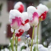 Ende Mai 2013 waren die Blumen zwar schon da, verstecketen sich aber gezwungenermaßen noch unter einer Schneedecke. Hatten die es gut ...