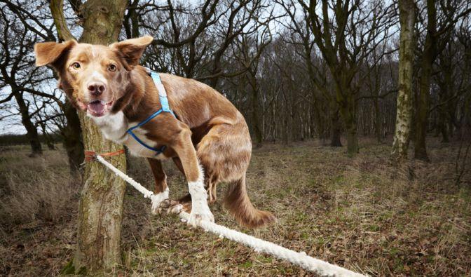Hund Ozzy schaffte es am schnellsten, die Leine auf allen vier Pfoten zu überqueren. (Foto)