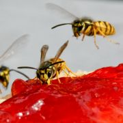 Nein, diese Wespen schwirren nur auf der Marmelade, wir essen sie nicht mit. Dafür erwischen wir vielleicht ein paar Läusebestandteile. Die kann der rote Frühstücksaufstrich nämlich enthalten.