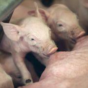 Süß, die kleinen Ferkel. Aber: Nicht nur im Schweinebraten begegnen sie uns als Nahrung...
