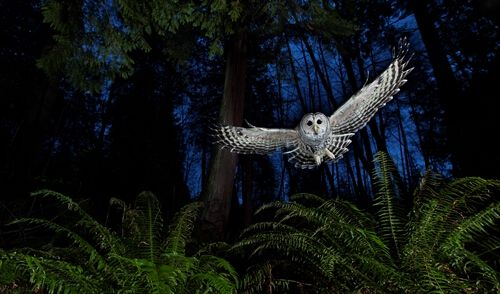 Eulen schweben ganz leise durch die Lüfte, da am Rand der Federn kammförmige Fortsätze sind. Die verwirbeln die Luft so, dass keine lauten Geräusche entstehen.