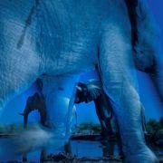 Der größte bekannte Elefant war 4,21 Meter groß und 10,39 Meter lang.