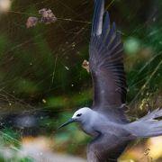 Die Goldene Seidenspinne hat sehr stabile und reißfeste Spinnennetze. Sie werden auch als Fischernetze benutzt.