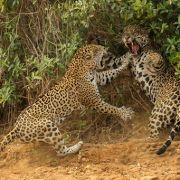 Der Jaguar ist die drittgrößte Raubkatze der Welt nach dem Tiger und dem Löwen.