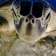 Die Suppenschildkröte wird heute noch als Delikatesse in Asien und in der Karibik angesehen.