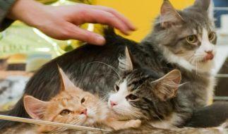 Katzen landen bei einem Appenzeller Bauern auch gern mal auf dem Teller. (Foto)