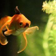 Auch als goldiger Goldfisch ist man nicht vor Ähnlichkeiten gefeit.