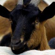 Sie stand ihrem Vergewaltiger Auge in Auge gegenüber: Die Ziege wohnte seinem Prozess in Kenia bei.