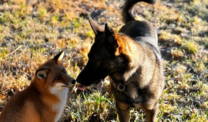Fuchs Sniffer und Hund Tinni sind die besten Freunde - und bald Protagonisten eines Kinderbuchs. (Foto)