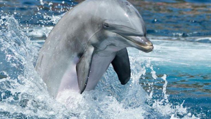 Possierlich und clever: Delfine gelten nicht nur als schlaue Meeressäuger, sie wissen auch, welche Substanzen sie high machen. (Foto)