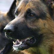 Ein solcher Schäferhund wurde in Florida Opfer eines sexuellen Übergriffs (Symbolbild).