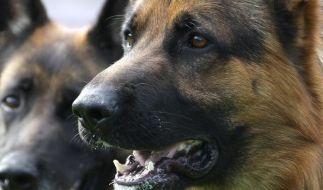 Ein solcher Schäferhund wurde in Florida Opfer eines sexuellen Übergriffs (Symbolbild). (Foto)