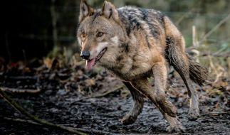 Ein Wolf hat erstmals einen Hund gerissen. (Foto)