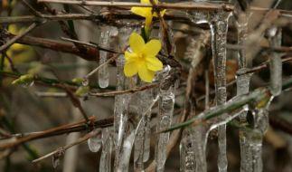TreibendePflanzen sterben beiFrost in der Regel nicht (Foto)