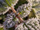Eis auf Blättern schadetPflanzen nicht (Foto)
