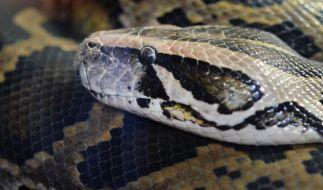 Schlangen brauchen Platz - Rackboxen ungeeignet (Foto)