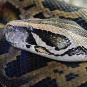 Touristin von Python in die Nase gebissen (Foto)
