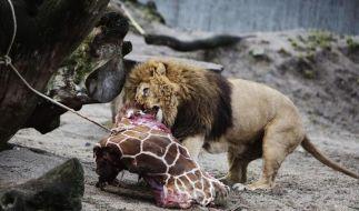 Die getötete Giraffe Marius wurde nach einer öffentlichen Obduktion an Löwen verfüttert. (Foto)