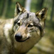 Wolf in der Stadt unterwegs (Foto)