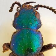 Von Darwin entdeckter Käfer bekommt einen Namen (Foto)
