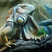 Grüne Leguane brauchen ein halbes Zimmer für sich (Foto)