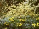 Frühblüher hinter Hecken setzen (Foto)